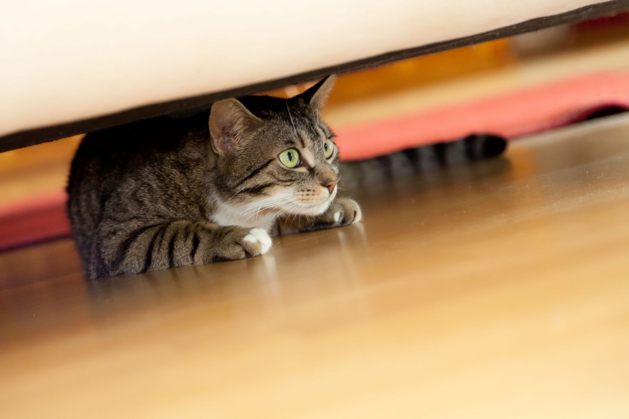 An anxious cat hides under a bed.