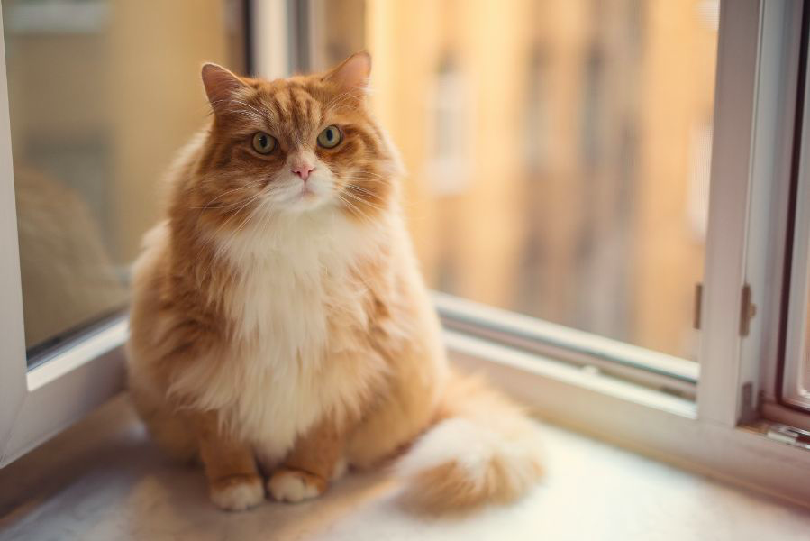 How can cats lose weight safely? Like this cute orange cat, all cats deserve the best care!